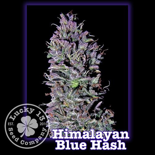 Himalayan Blue Hash