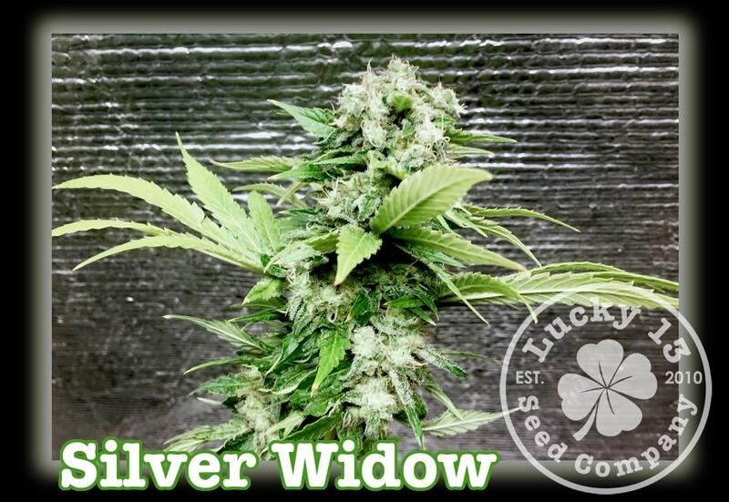 Silver Widow
