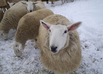 A Real Breed Study - January - North Country Cheviot