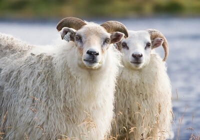 A Real Breed Study - April - Icelandic Sheep