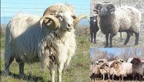 A Real Breed Study - November - Navajo Churro