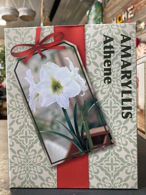 Amaryllis Grow Kit