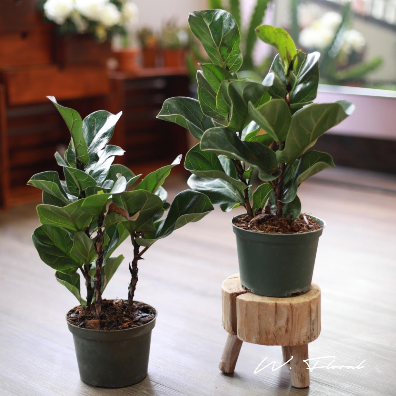"5"" Ficus Lyrata (Fiddle Leaf Fig)"