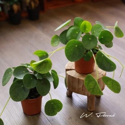 """4"""" Pilea Peperomiodes (Money Plant)"""
