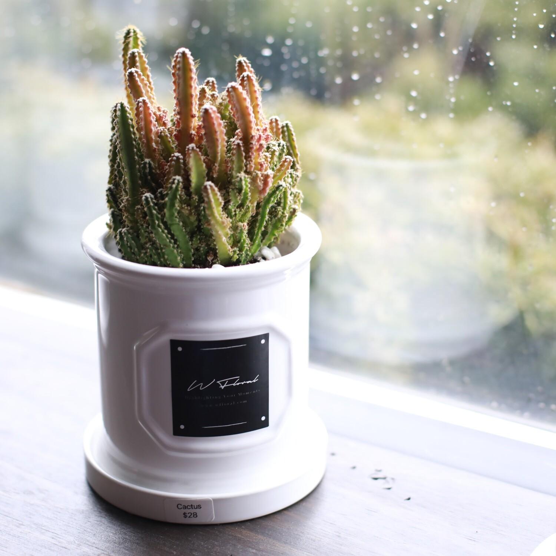 "4"" Round White Roman Pot Cactus (Fairy Castle)"