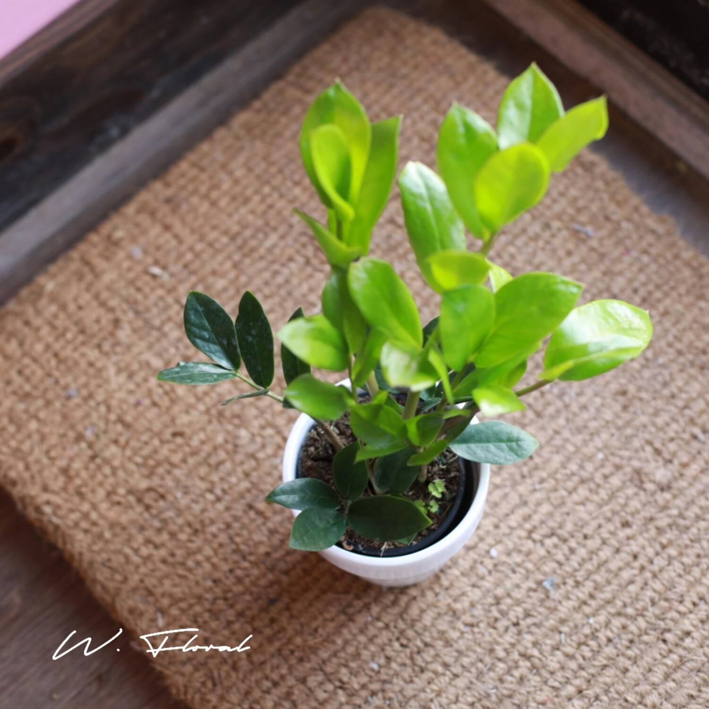"""4"""" ZZ Plant (Zamioculcas zamiifolia)"""