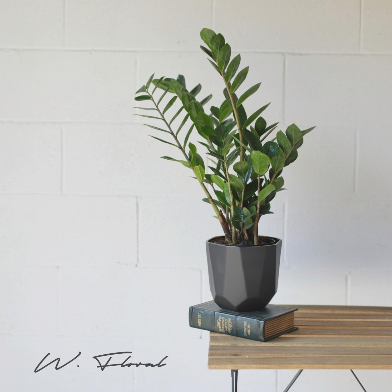 """6"""" ZZ Plant (Zamioculcas zamiifolia)"""
