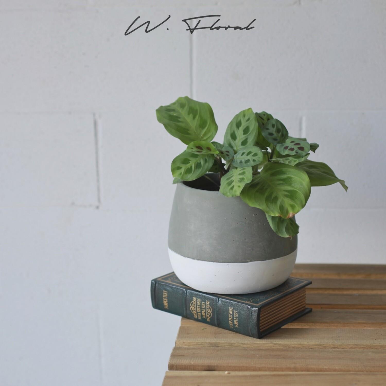 """6"""" Maranta Leuconeura (Prayer Plant)"""