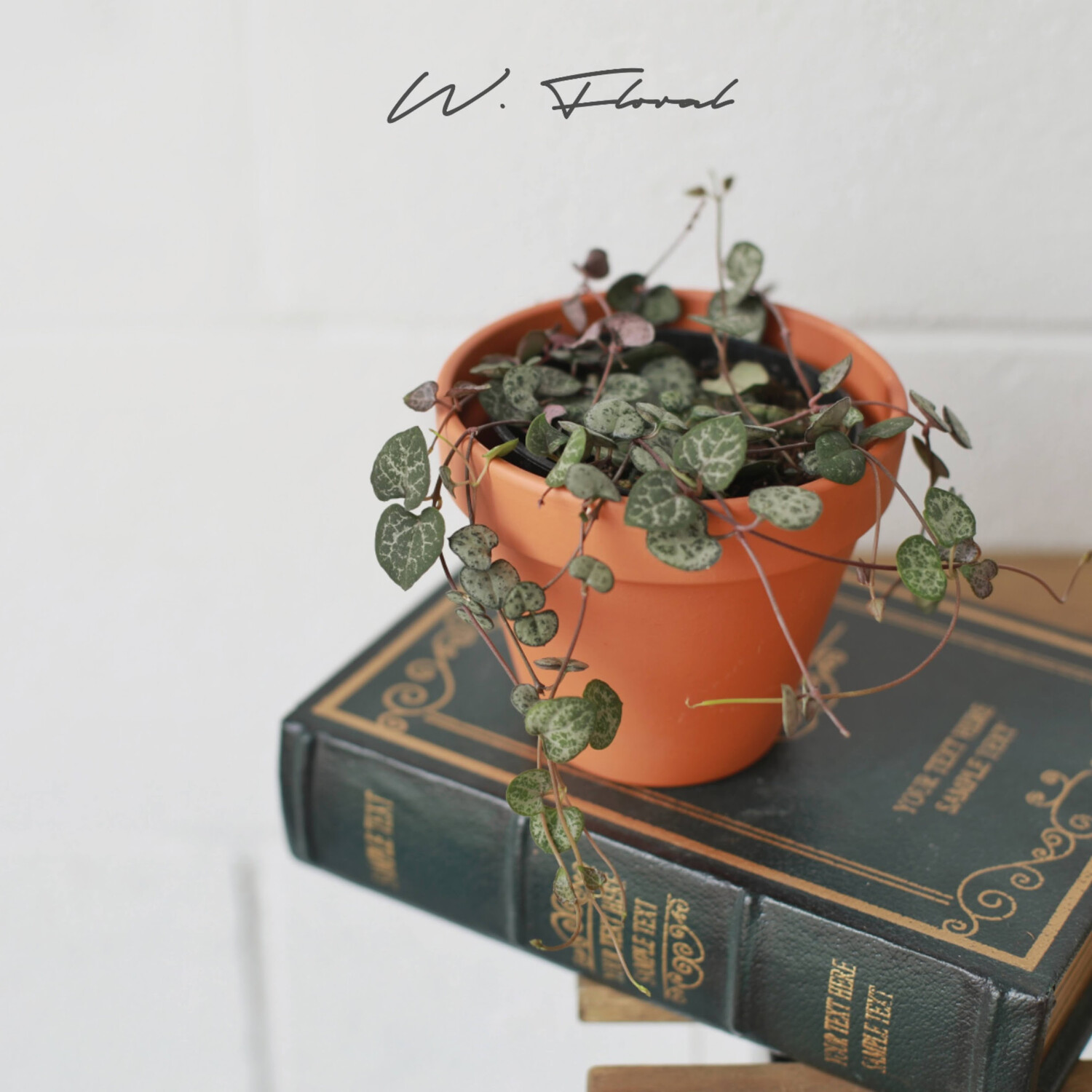 """3.5"""" Ceropegia Woodii (String of Hearts)"""