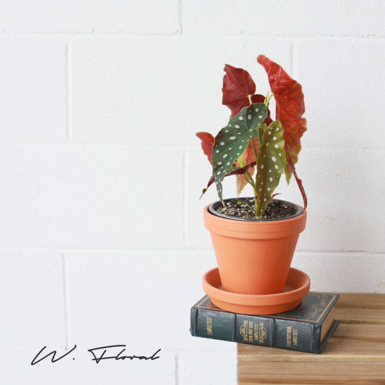 "6"" Begonia Maculata (Polka Dot Begonia)"