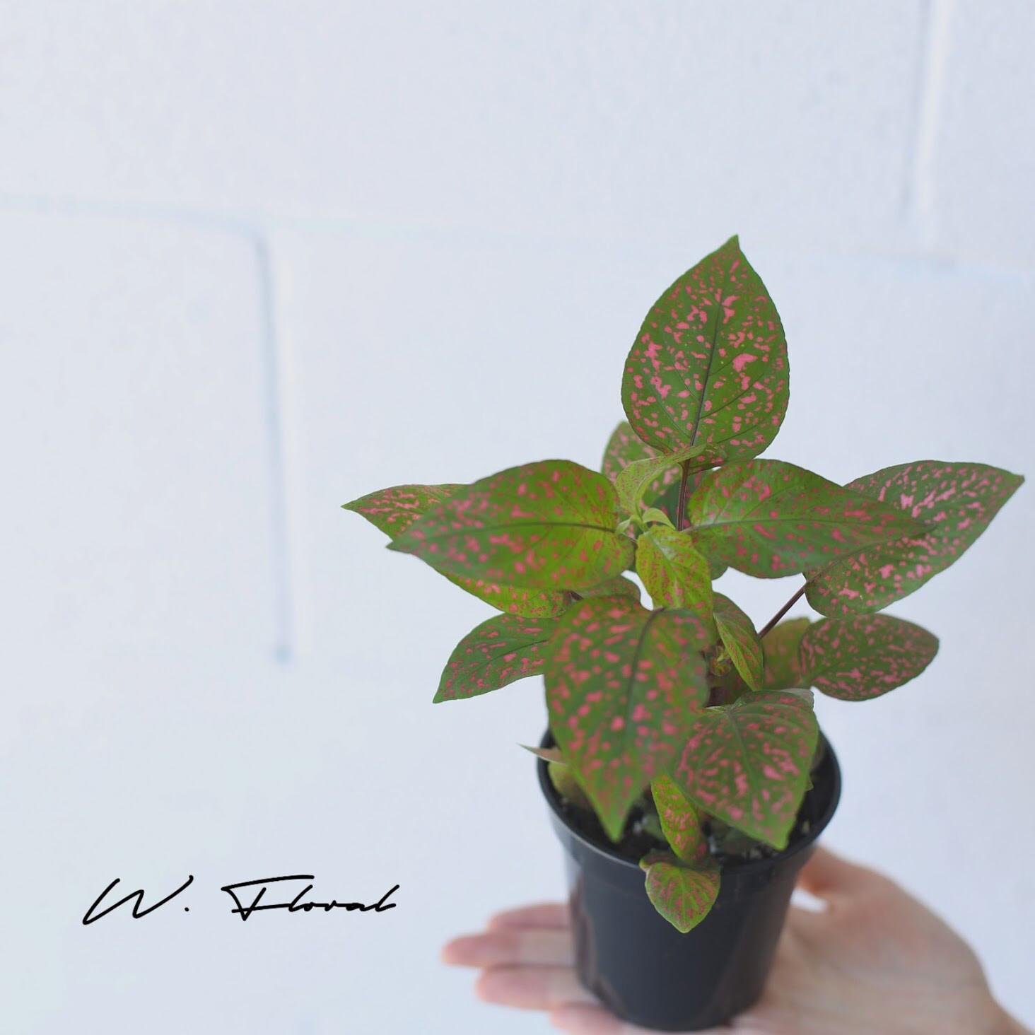 "4"" Polka Dot Plant"