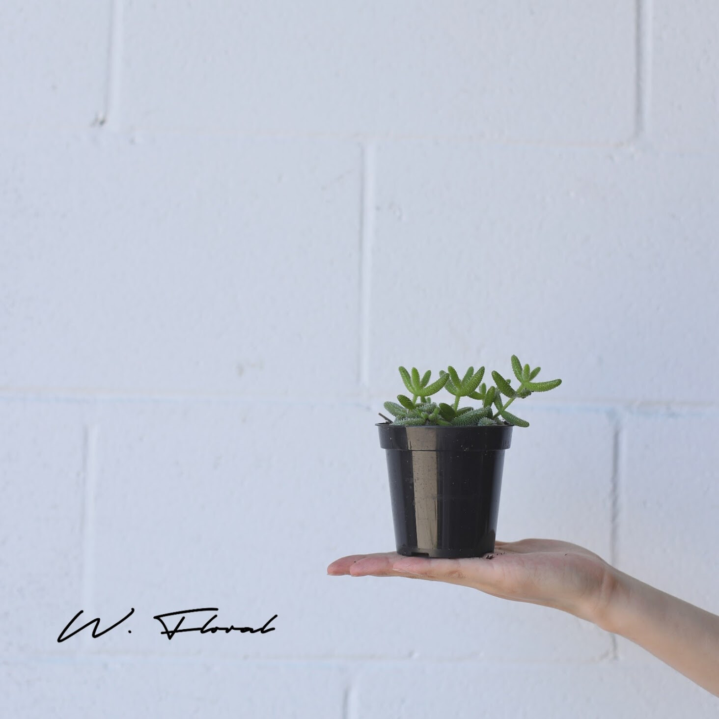 "4"" Pickle Plant"