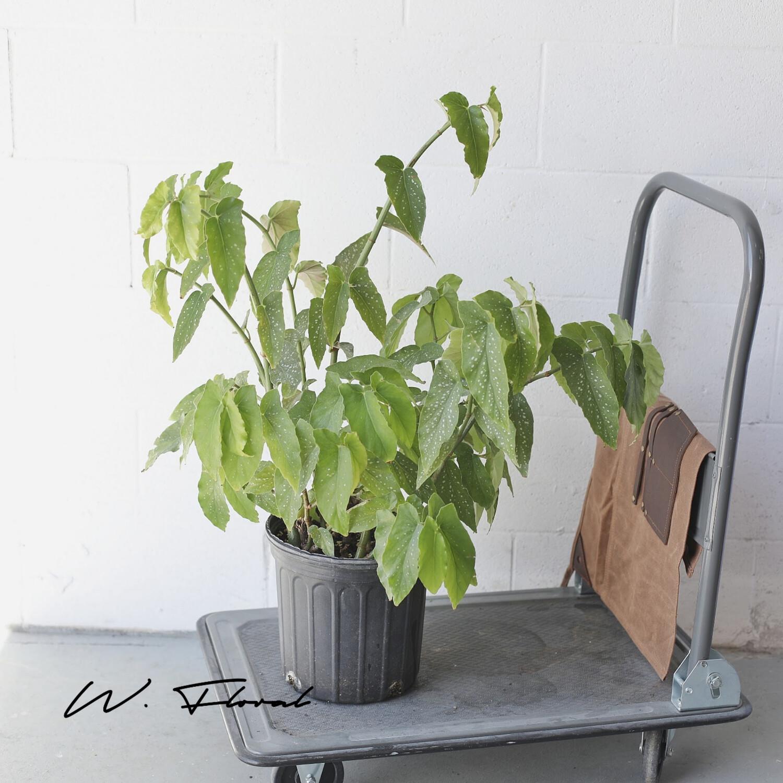 "10"" Begonia Angel Wing Bush"