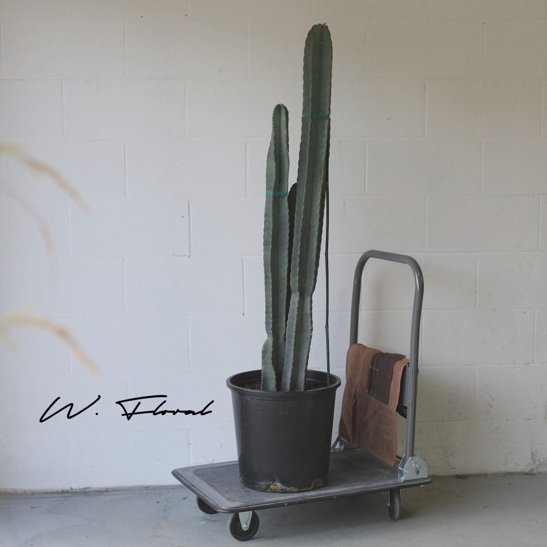 """14"""" Cereus Peruvianus (Peruvian Cactus) - Special Order Item"""