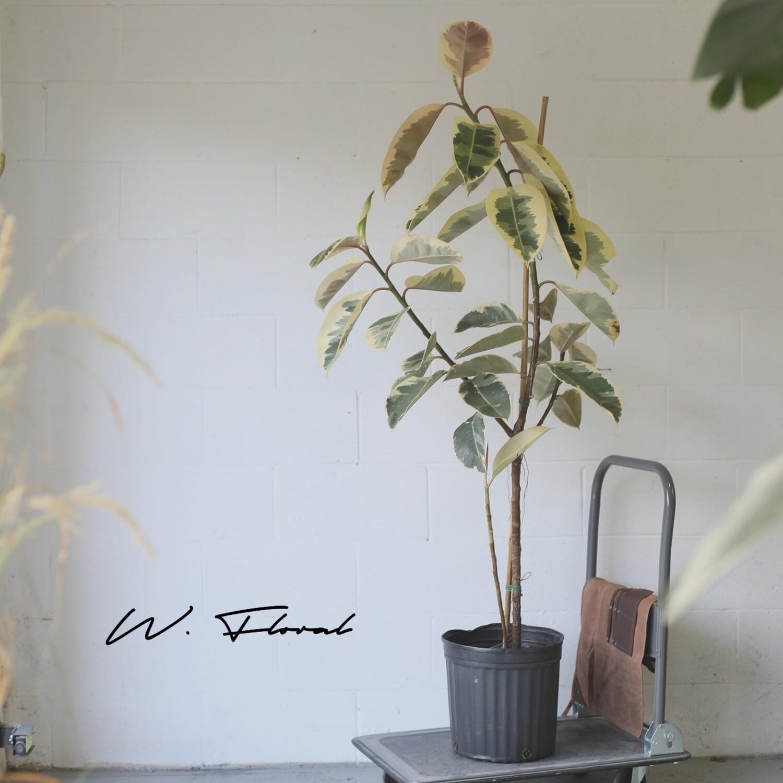 "12"" Ficus Elastica ""Tineke"" (Variegated Rubber Tree)"