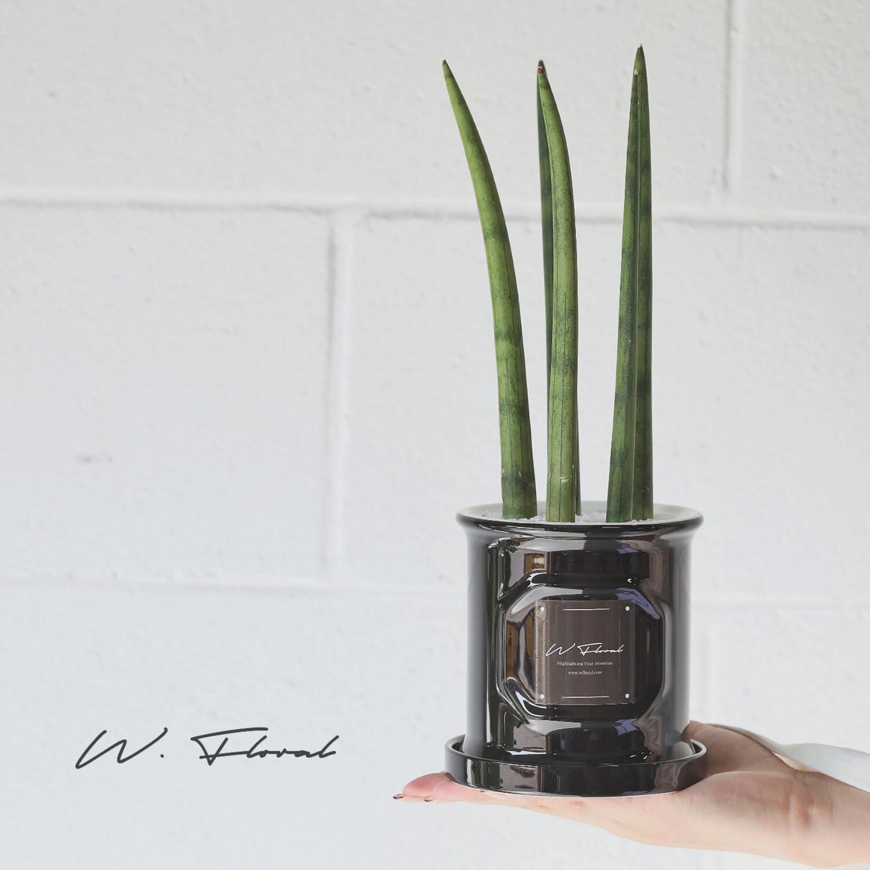 "4"" Sansevieria Cylindrica (Cylindrical Snake Plant)"