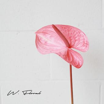 Single of Anthurium - Pink