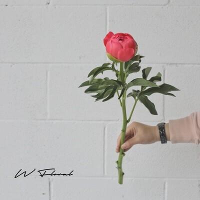 Single of Peonies (Peony) - Coral Sunset