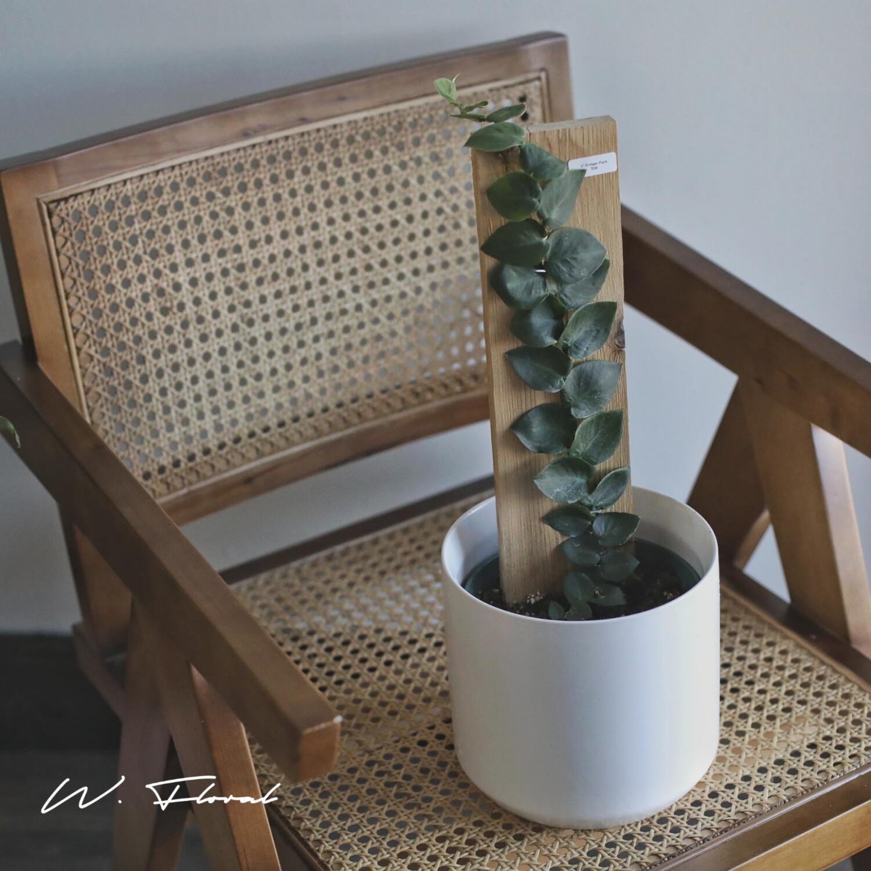 "6"" Rhaphidophora Hayi (Australian Shinger Plant)*Rare*"