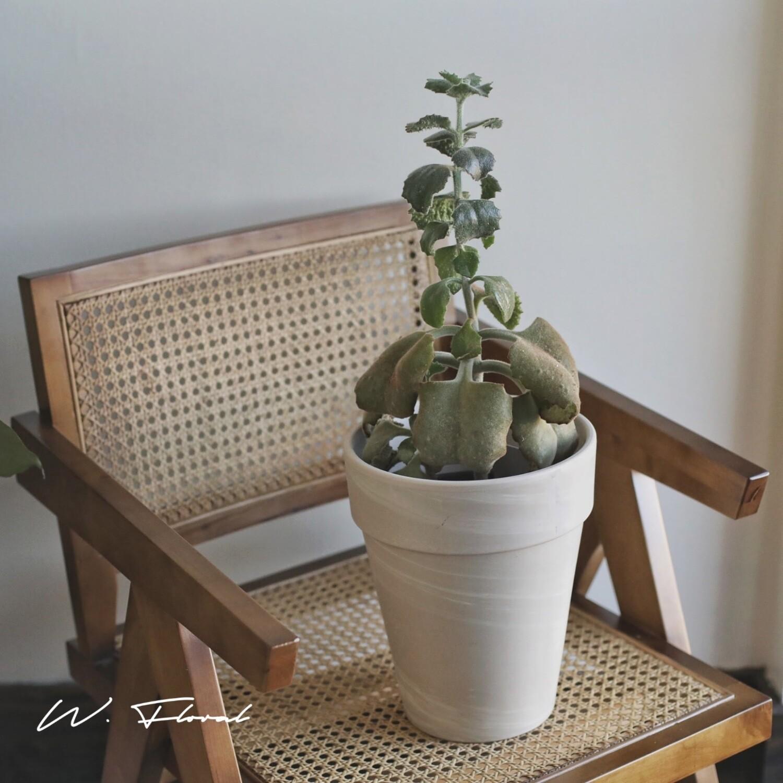 """6"""" Kalanchoe Baharensis (Felt Plant)"""