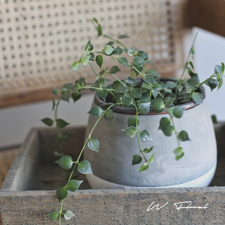"""4"""" Dischidia Ruscifolia (Million Hearts Plant)"""