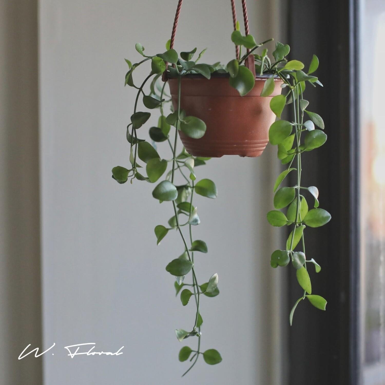 "4"" Dischidia Imbricata Hanging Basket *Rare*"