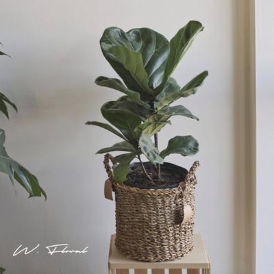"""10"""" Ficus Lyrata Bush (Fiddle Leaf Fig)"""