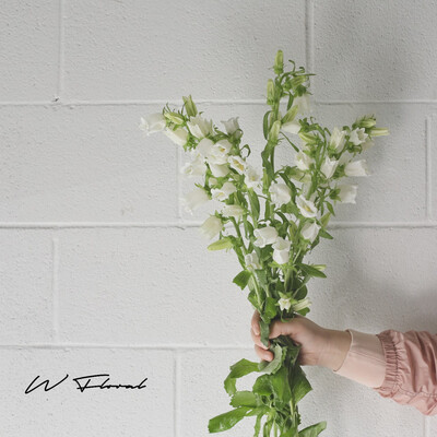Bunch of Campanula Bell Flower - White