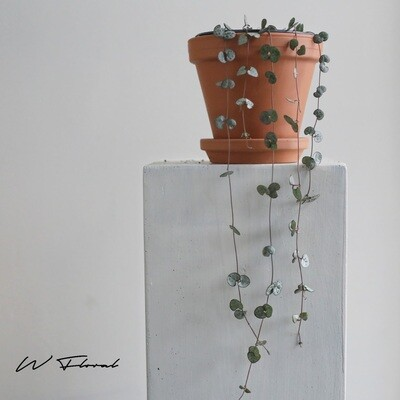 """6"""" String of Hearts (Ceropegia Woodii)"""