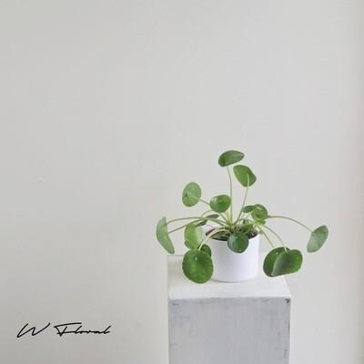 """6"""" Pilea Peperomiodes (Money Plant)"""