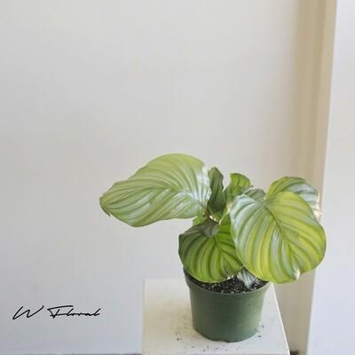 """6"""" Calathea Orbifolia"""