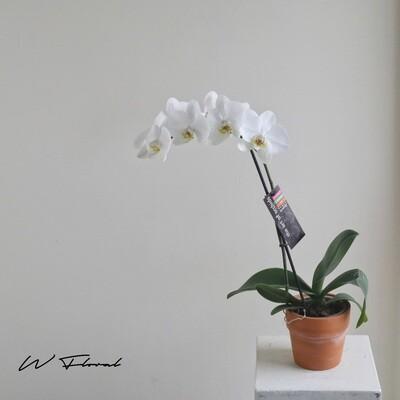 """4"""" White Premium Orchid"""