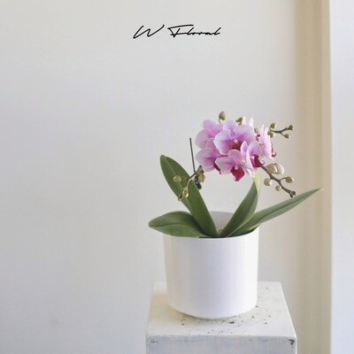 """4"""" Pink Mini Orchid"""