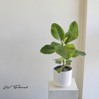 """6"""" Ficus Altissima"""