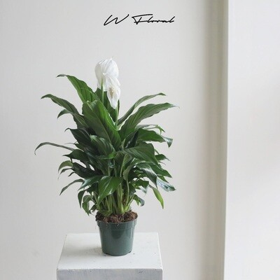 """4"""" Peace Lilies (Spathiphyllum)"""