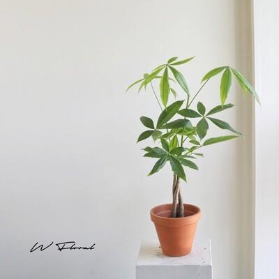 """6"""" Pachira Aquatica Braided (Money Tree)"""