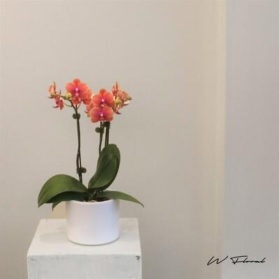 "4"" Mini Double Spike Orchid - Vintage Orange"