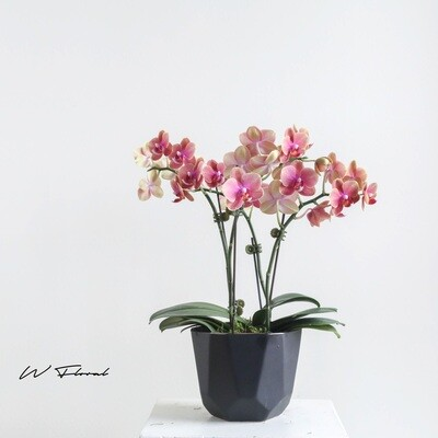 The Glowing Strong Orchid - Vintage Orange