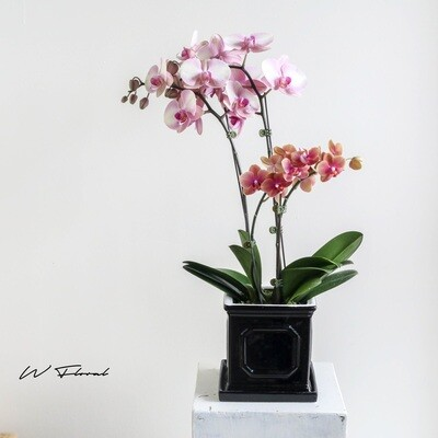 The Doublets Orchid in Black