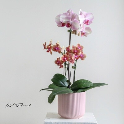 The Doublets Orchid in Pink