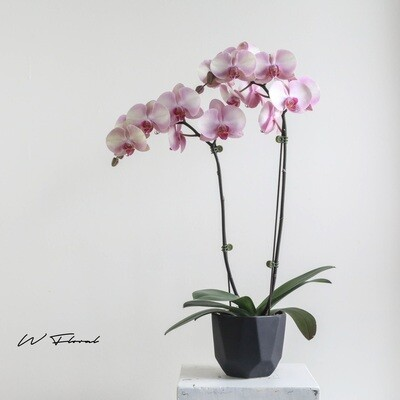 The Blushing Orchid - Blush Peach