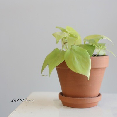 "3.5"" Philodendron Lemon Lime- heart leaf"