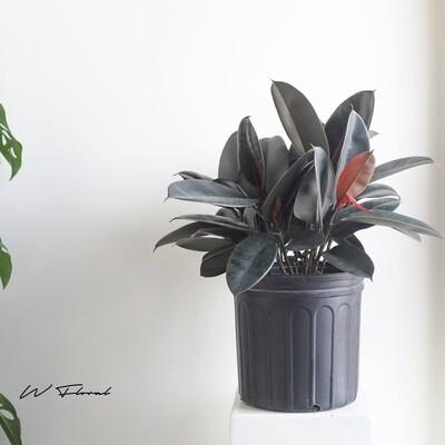 """10"""" Ficus Elastica (Rubber Tree)"""