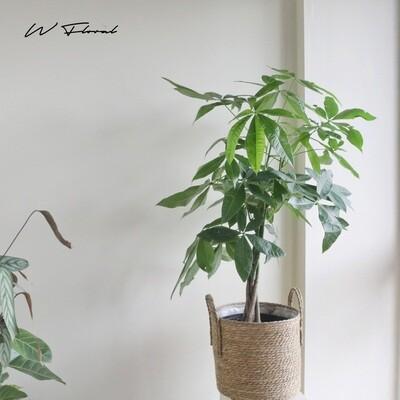 """10"""" Pachira Aquatica Braided (Money Tree)"""
