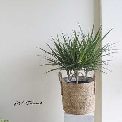 "10"" Dracaena Marginata- Candlestick green form"