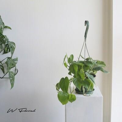 "6"" Philodendron Cordatum Hanging Basket"