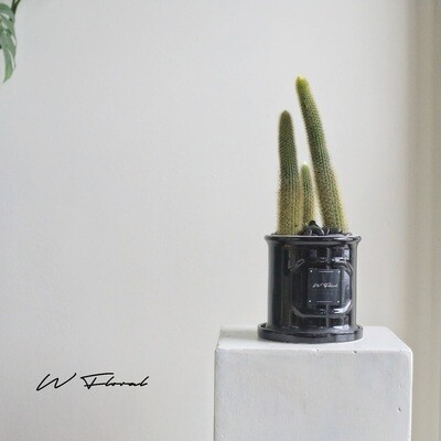 """4"""" Round Black Roman Pot Monkey Tail Cactus"""