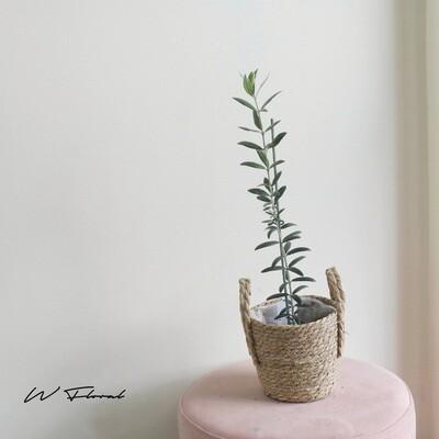 "4"" Olive Plant"