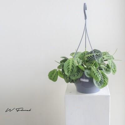 "8"" Hanging Basket Maranta Leuconeura (Prayer Plant)"