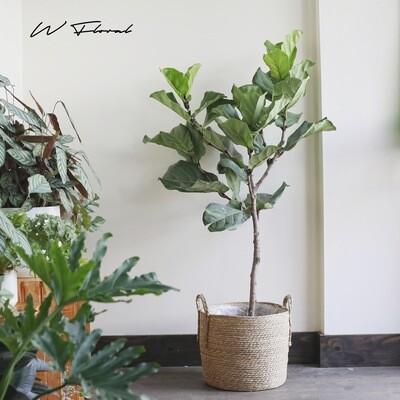 "10"" Ficus Lyrata Standard (Fiddle Leaf Fig)"